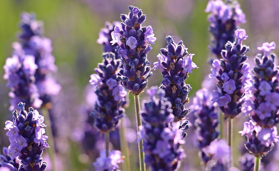 Lavendel fördert den Schlaf